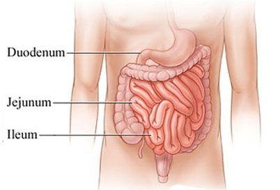 Sistem pencernaan usus halus manusia