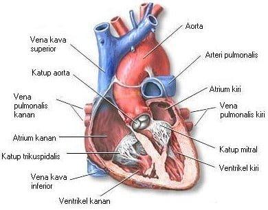 gambar-jantung