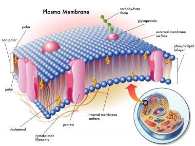 membran sel adalah