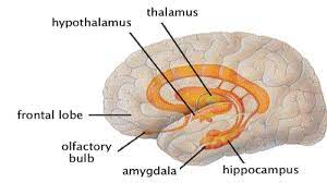 Talamus dan Hipotalamus, Definisi Beserta Fungsinya Secara Lengkap