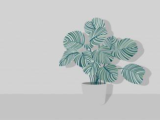 tanaman calathea